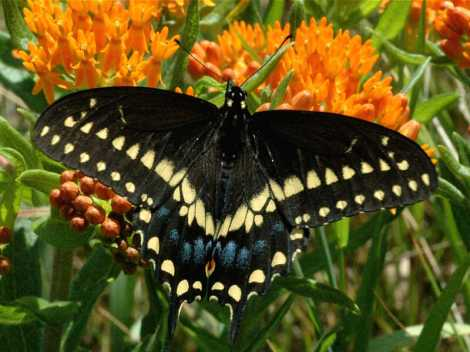 Eastern black swallowtail adult