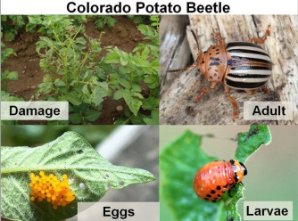 potato beetle 2