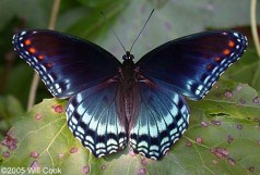 red spotted admiral