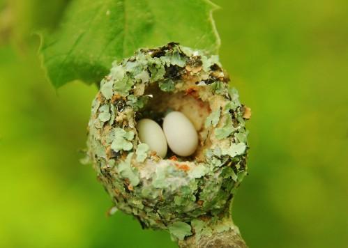 rubythroated eggs