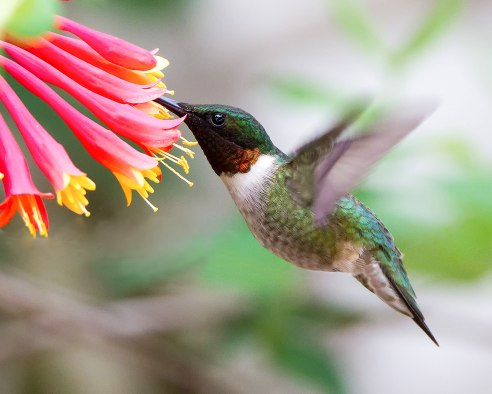 Ruby throated-Hummingbird.