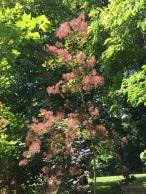 Smoke Tree