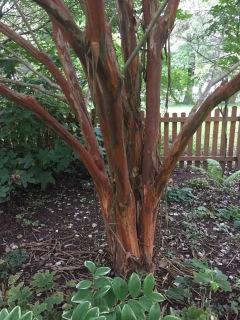 Nachez Crepe Myrtle bark