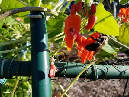 Scarlet Runner bean with bee