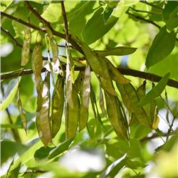 Red Bud pods