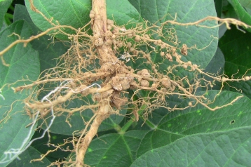 Root nodules with symbiotic Rhizobium bacteria
