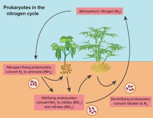 Nitrogen fixation in legumes