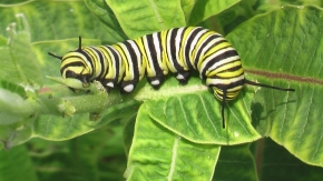 monarch-caterpillar (1)