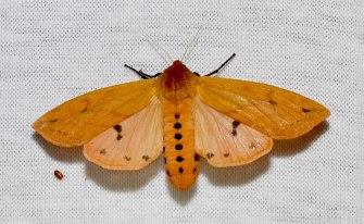 wooly bear moth