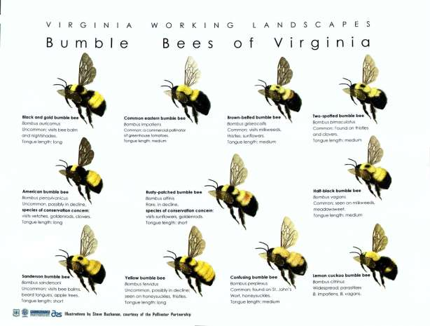 Bumble Bees of Virginia (1)