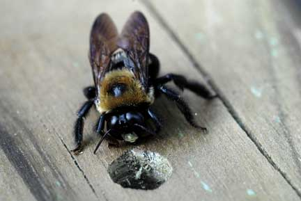 Carpenter bee entrance to nest