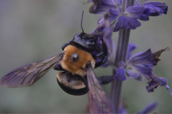 Rusty patch bumble bee Bombus affinis
