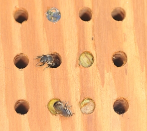 entrances to mason bee nests