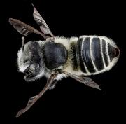 Megachile spp