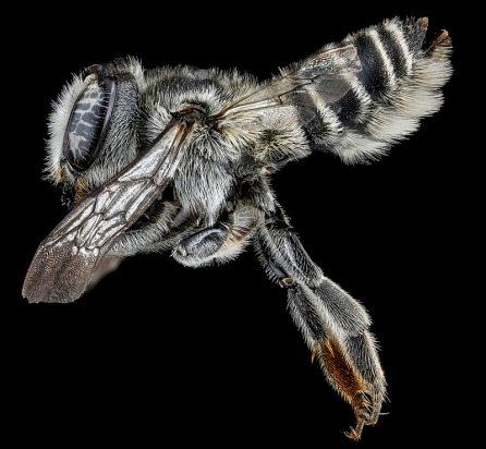 Megachile-brevis-Side-View leafcutter