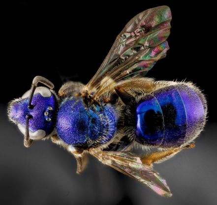 Blue sweat bee Augochlorella aurata