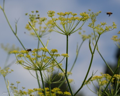 dill with pollinators