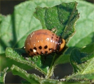 CPB larva