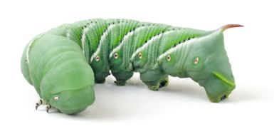 Tomato Horn Worm adult