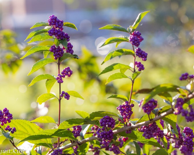 Beautyberry / Calicarpa americana